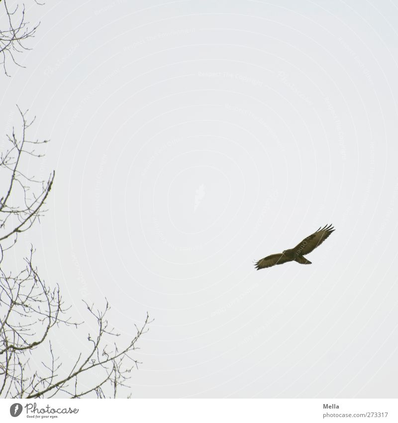 900 - bird picture, what else? Environment Nature Animal Plant Tree Branch Wild animal Bird Hawk Common buzzard 1 Flying Free Natural Gray Freedom Colour photo