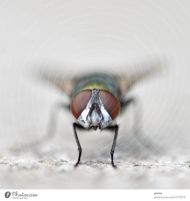 Glubschis Environment Nature Animal Wild animal Fly 1 Observe Brown Gray Insect Compound eye Looking Colour photo Exterior shot Close-up