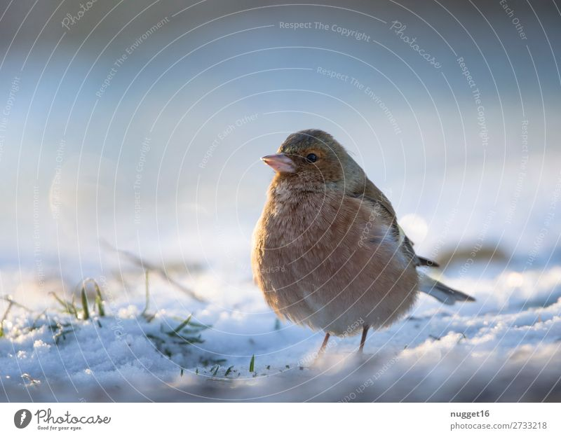 Bookfinch in the snow Environment Nature Animal Sunlight Winter Climate Climate change Weather Beautiful weather Ice Frost Snow Snowfall Grass Garden Park