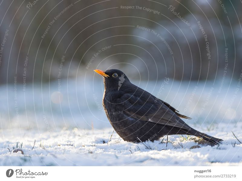 Blackbird in the snow Environment Nature Animal Sunlight Winter Climate Climate change Beautiful weather Ice Frost Snow Snowfall Grass Garden Park Meadow Field