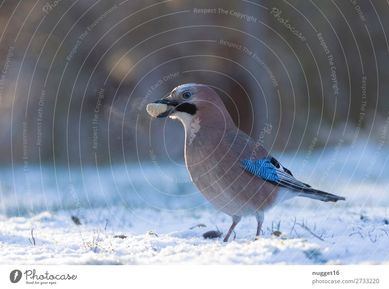 Jay with peanut Environment Nature Animal Sunlight Winter Climate Climate change Weather Beautiful weather Ice Frost Snow Snowfall Grass Garden Park Meadow
