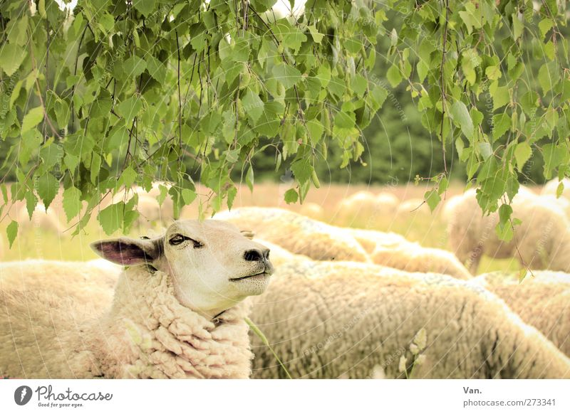 chief Nature Animal Plant Tree Leaf Birch tree Meadow Farm animal Animal face Pelt Sheep Herd Yellow Green To feed Wool Colour photo Multicoloured Exterior shot