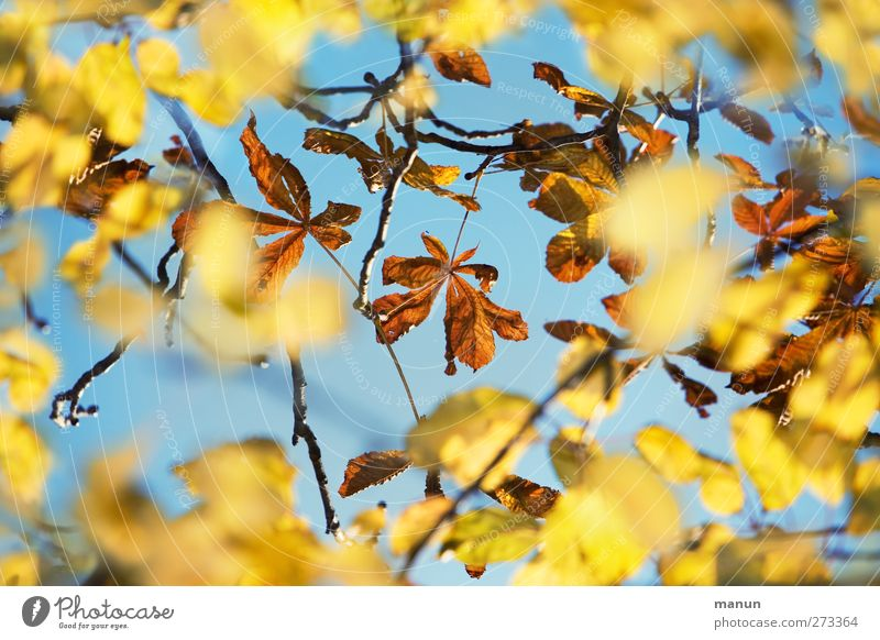 Sky Nature Tree Leaf Autumn Natural Autumnal Autumnal colours Autumnal weather Chestnut leaf