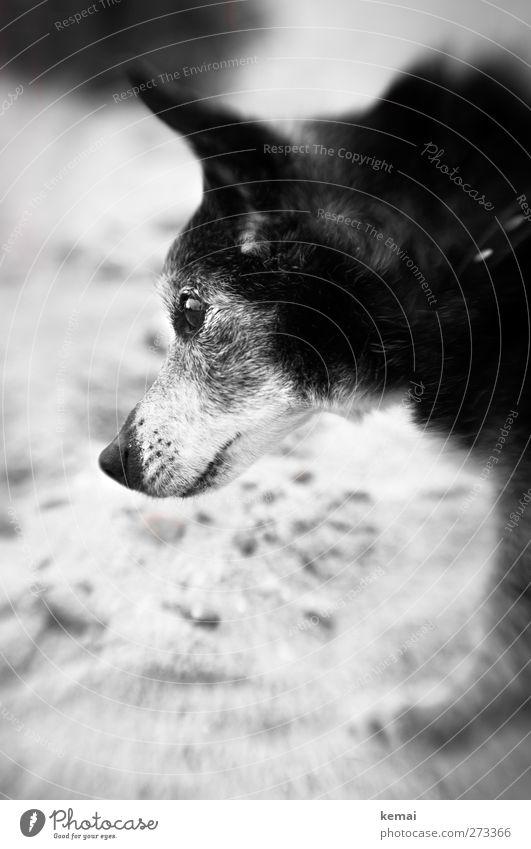 Dog Old Vacation & Travel Beautiful Beach Animal Black Eyes Gray Small Sand Trip Cute Pelt Animal face Pet
