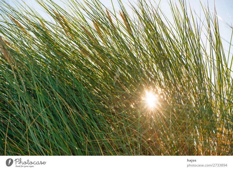 Strandhafer at the Baltic Sea in the back light Summer Beach Plant Sand Grass Bushes Bright Green marram grass Back-light Blue Sky Poland flora rays Sun