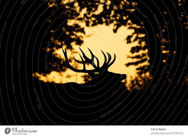Red Deer stag (Cervus elaphus) Nature Animal Park Wild animal 1 Natural Deer (Cervidae) Mammal Red Deer (Cervus elaphus) United Kingdom animals Antlers England
