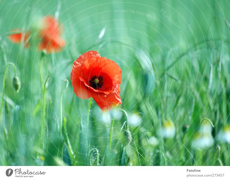 My favourite flowers Environment Nature Plant Summer Beautiful weather Flower Blossom Field Natural Green Red Poppy Poppy blossom Grain Cornfield Blossoming