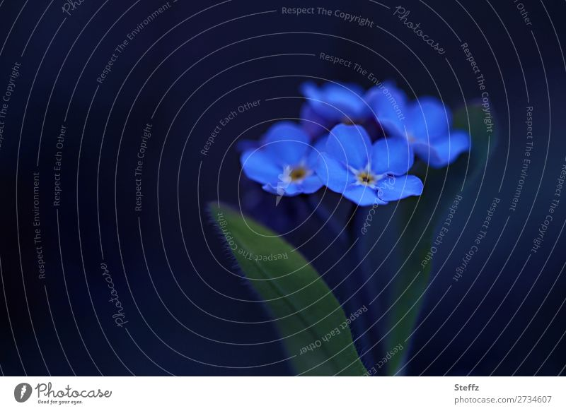 blue like forget-me-nots Forget-me-not Blue Nature Plant Spring Flower Blossom Wild plant Blossom leave Spring flower Garden plants Blossoming Esthetic Natural