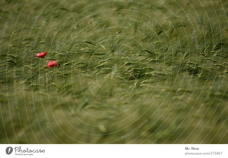 poppy day Environment Nature Landscape Summer Plant Blossom Agricultural crop Field Green Red Agriculture Cornfield Poppy blossom Growth Harvest Patch of colour