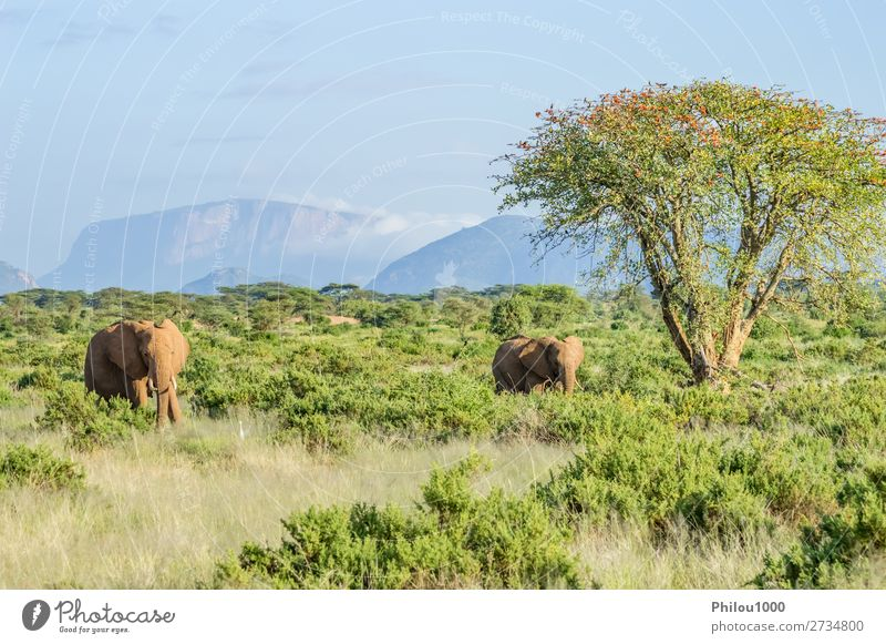 Two elephants in the savannah of Samburu Park in central Kenya Playing Vacation & Travel Safari Family & Relations Nature Animal Tree Herd Together Large Wild