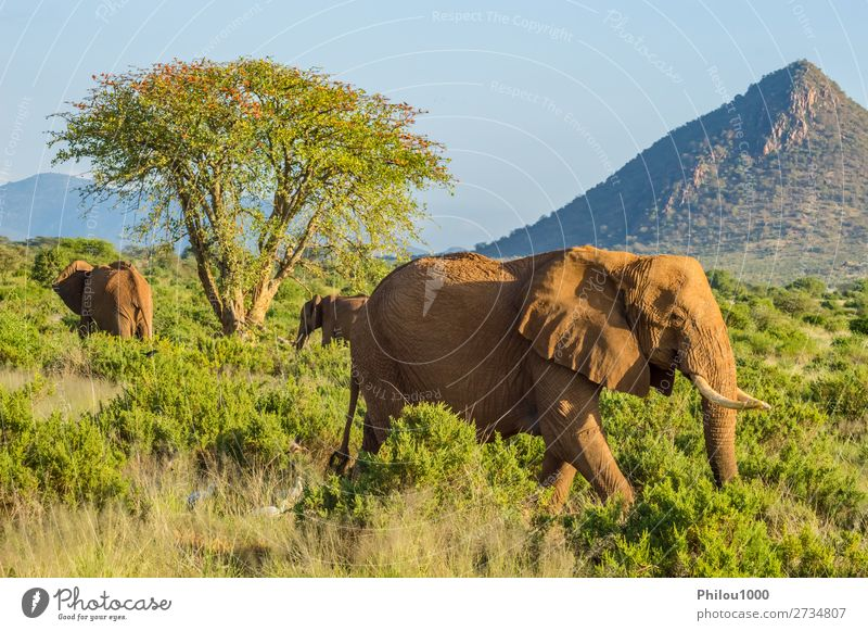 Three elephants in the savannah of Samburu Park in central Kenya Playing Vacation & Travel Safari Family & Relations Nature Animal Tree Herd Together Large Wild