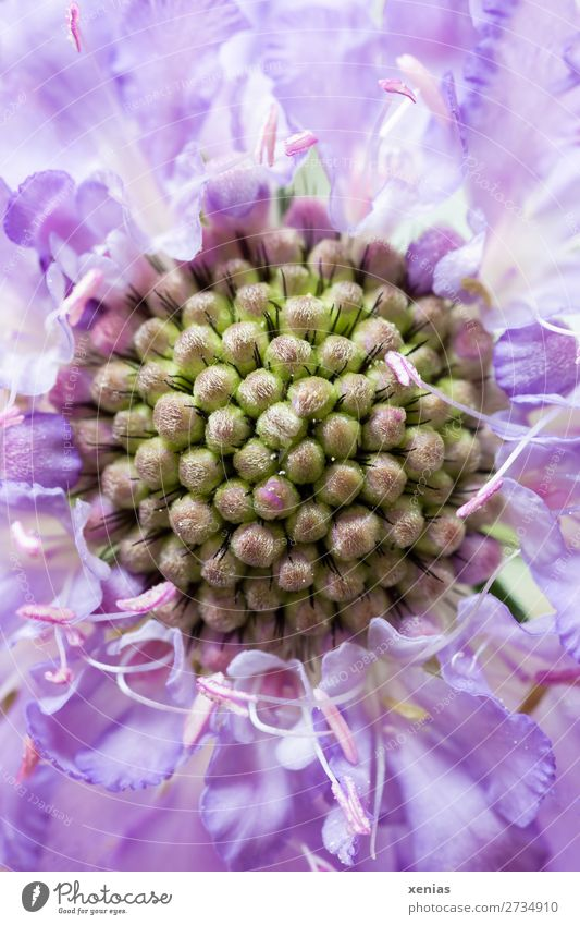 Detailed view of Scabiosa Summer Flower Blossom scabiosa card plant Italian honeysuckle Green Violet Colour photo Studio shot Close-up Macro (Extreme close-up)