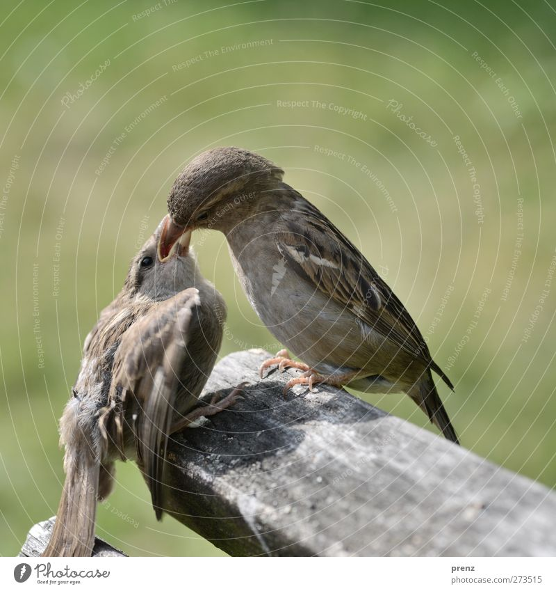 Feed Me Environment Nature Animal Wild animal Bird 2 To feed Sit Together Gray Green Sparrow Feeding Chick Beak Wood Colour photo Exterior shot Close-up