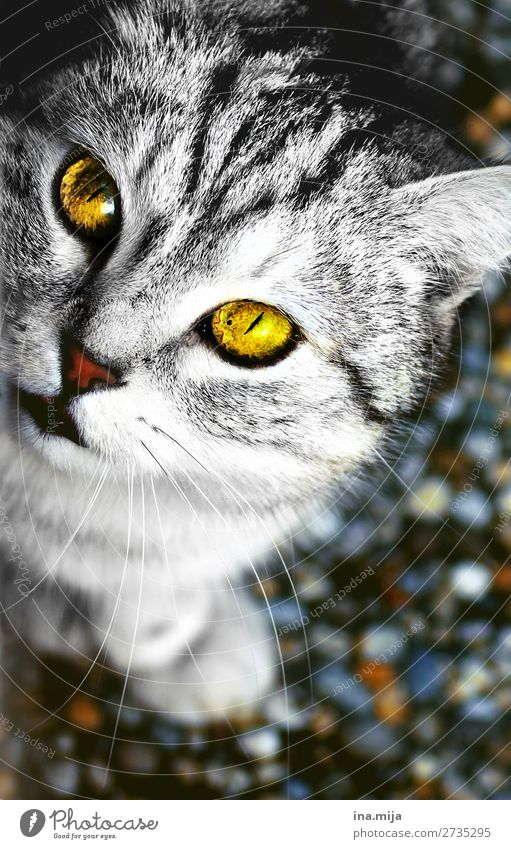Cat White Animal Black Baby animal Wild Gold Cute Curiosity Soft Domestic cat Near Pet Pelt Mammal Animal face