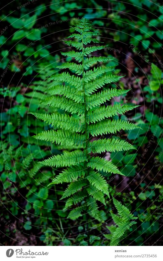 frond Fern Environment Nature Plant spring Summer flaked Foliage plant Pteridopsida Fern leaf Leaf green Plumed Forest Virgin forest Botany Detail