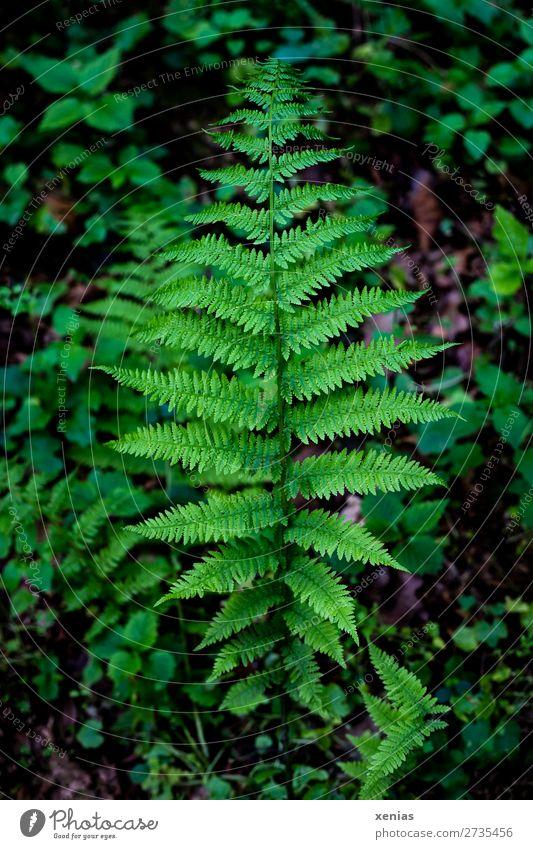 Nature Summer Plant Green Leaf Forest Environment Virgin forest Botany Fern Leaf green Foliage plant Pteridopsida Plumed Fern leaf