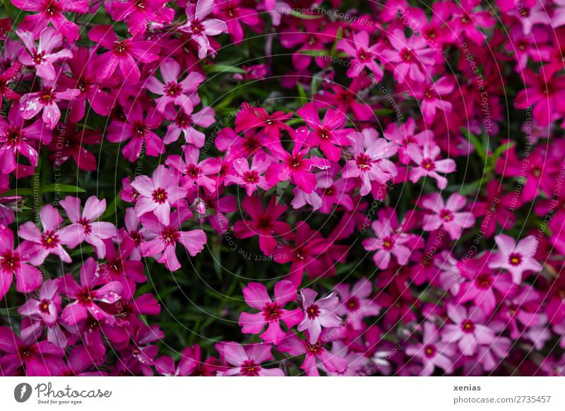 phlox Nature Spring Summer Flower Phlox Blossom Garden Blossoming Small Green Pink Red Many carpet plox Botany flame flower Colour photo Exterior shot Deserted