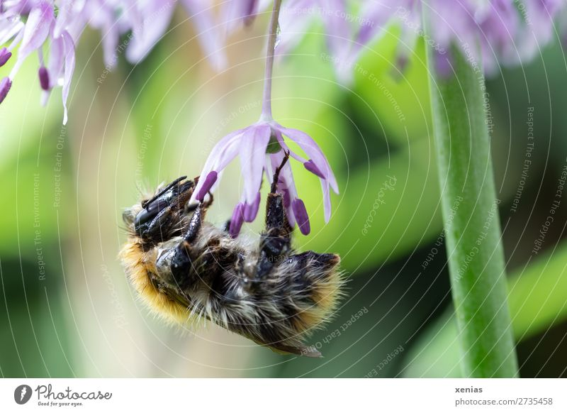 Bumblebee at the star ball leek Summer Plant Flower Blossom leeks Star-spotted leeks Garden Park Animal Wild animal Bee Wing Pelt Bumble bee Insect