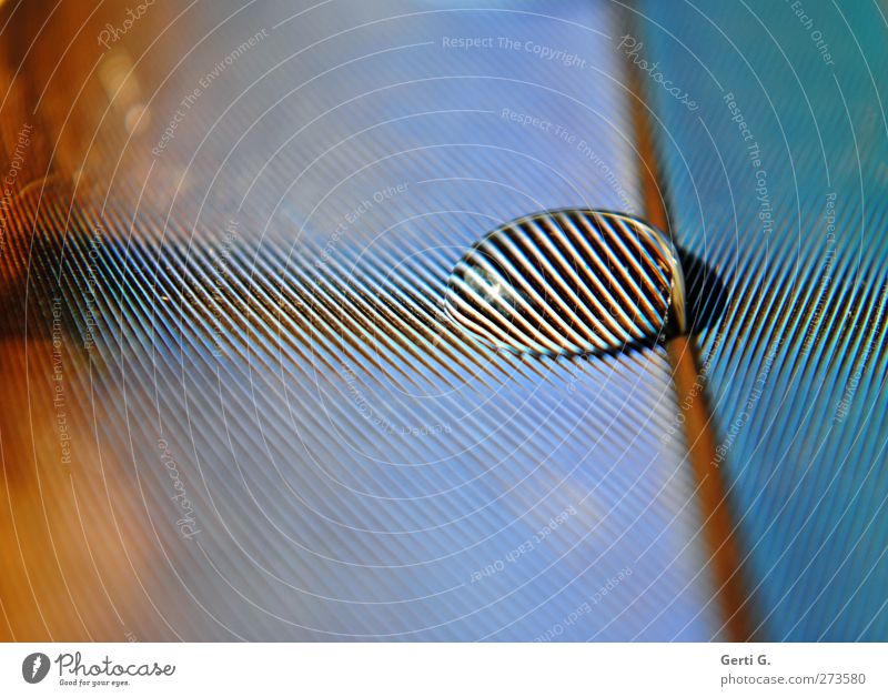 Blue Line Copy Space Feather Drops of water Stripe Depth of field Turquoise Striped Pattern Zebra crossing Multicoloured Nature Animal Surface tension Trickle