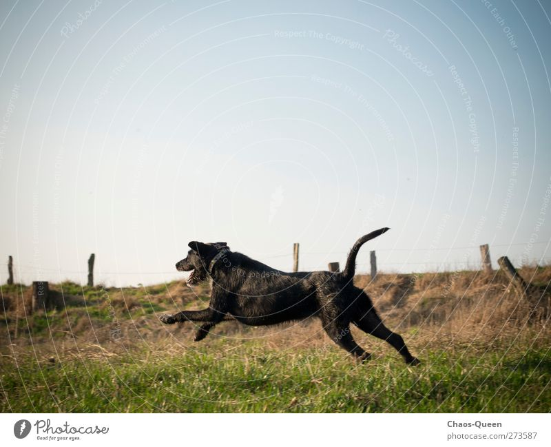 Racing dog Paula in action Athletic Leisure and hobbies Summer Nature Sky Cloudless sky Beautiful weather Grass Meadow Animal Pet Dog 1 Running Romp Free