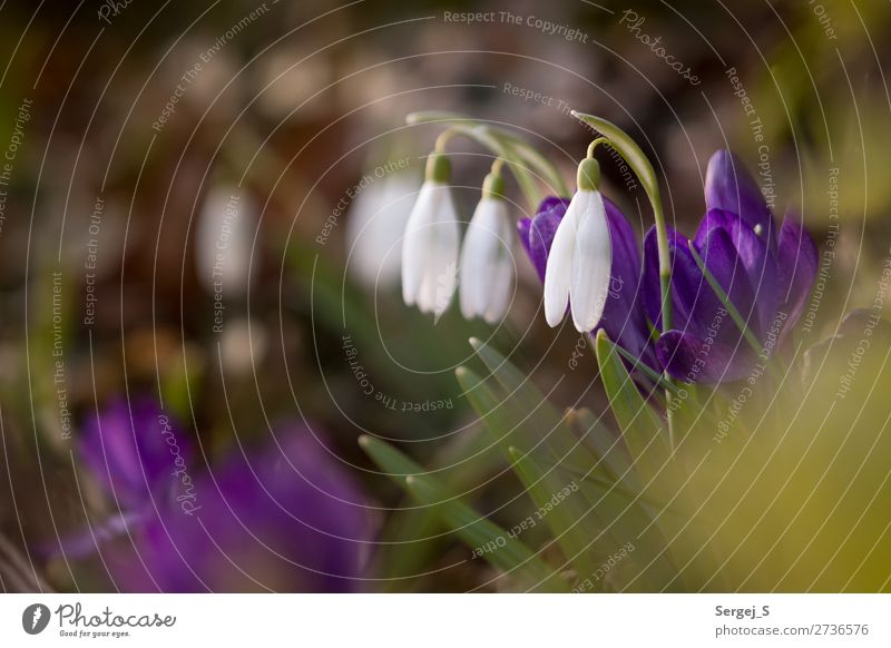 Spring will come Environment Nature Plant Beautiful weather Flower Grass Blossom Common snowdrops (Galanthus nivalis) Garden Meadow Fragrance Small Brown Green