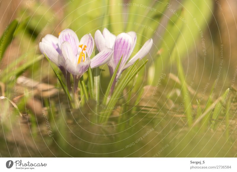 SPRING MESSENGERS Environment Nature Landscape Plant Sunlight Spring Beautiful weather Warmth Flower Grass Blossom Garden Meadow Blossoming Yellow Violet