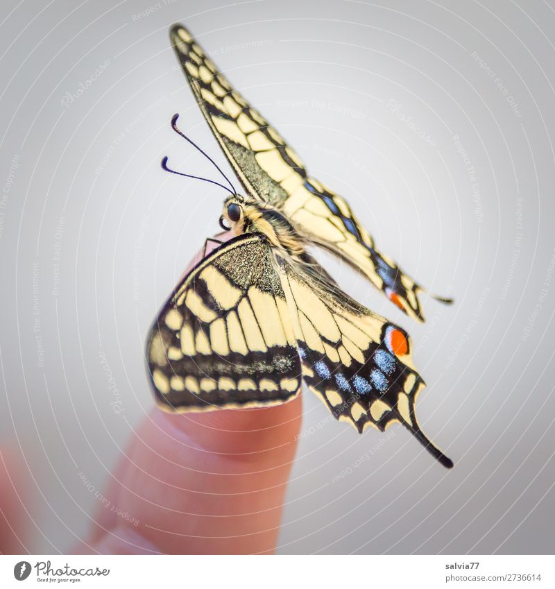 balance Fingers Nature Summer Animal Butterfly Wing Insect Swallowtail 1 Esthetic Beautiful Love of animals Ease Change Transform Metamorphosis Colour photo
