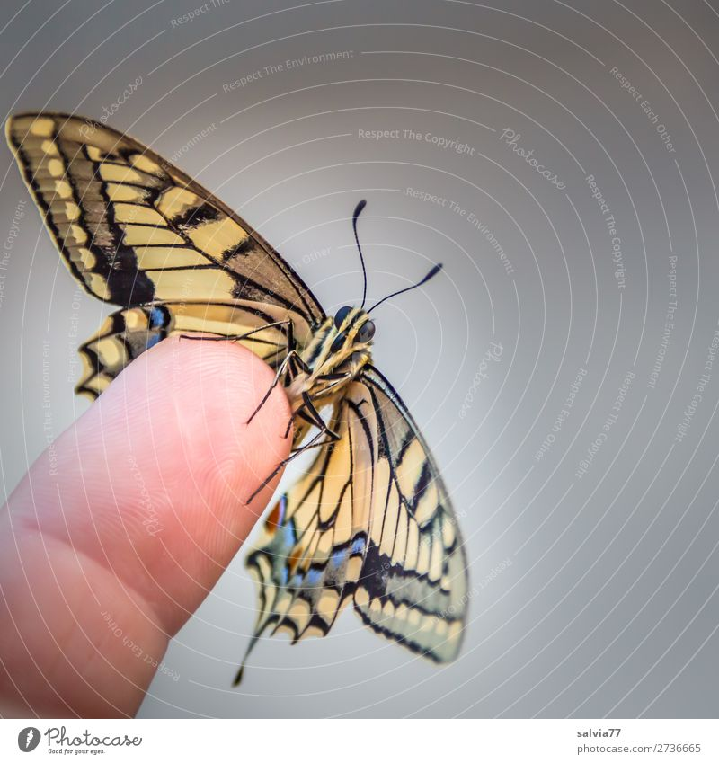 dovetail Fingers Nature Animal Butterfly Animal face Wing Insect Swallowtail 1 Esthetic Fresh Beautiful Trust Love of animals Ease Change Feeler Colour photo