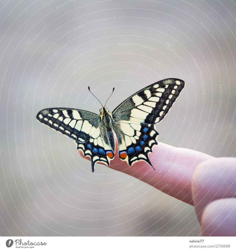 ready for the first flight Fingers Environment Nature Animal Butterfly Insect Swallowtail 1 Esthetic Free Beautiful Love of animals Elegant Ease Colour photo
