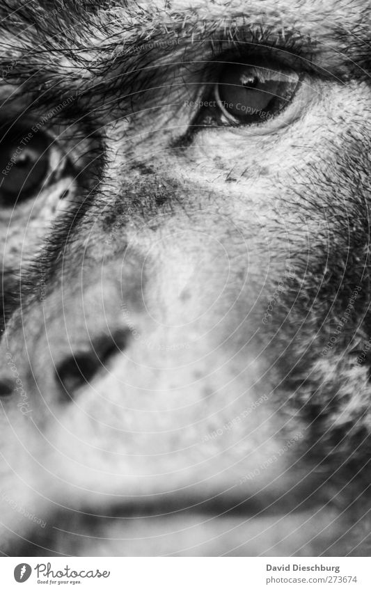 M/Dir not so dissimilar Animal Wild animal Animal face Zoo 1 Monkeys Eyes Nose Snout Looking Sadness Hide macaque Evolution Black & white photo Close-up Detail