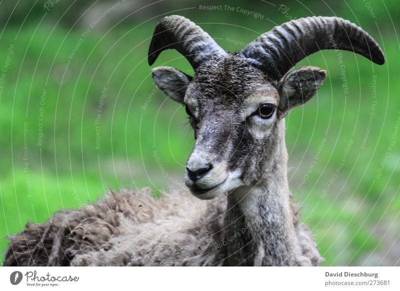 Nature Old Green Animal Eyes Gray Masculine Ear Curiosity Pelt Animal face Zoo Watchfulness Antlers Muzzle Snout