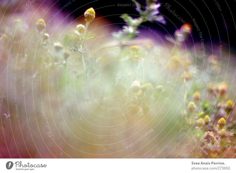 Nature Plant Environment Bushes Beautiful weather Soft Chamomile Camomile blossom
