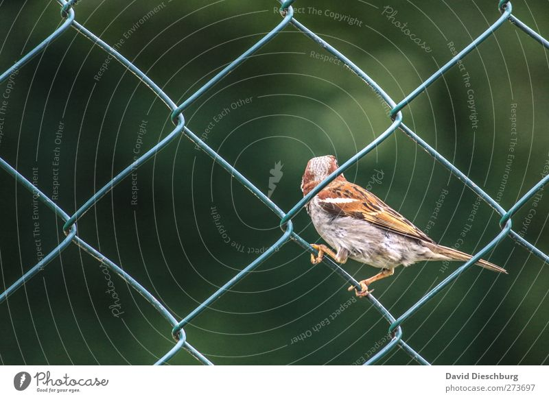 zaungast Animal Bird 1 Brown Gray Green Fence Wire netting fence Square Sparrow Sit To hold on onlooker Plumed Looking away Diagonal Colour photo Exterior shot