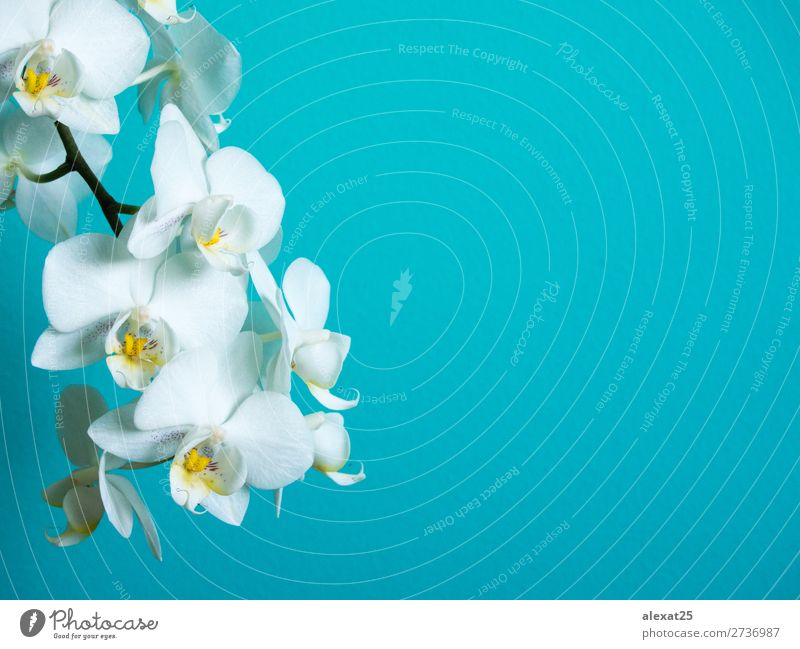 White phaleanopsis orchid on blue background with copy space Exotic Beautiful Nature Plant Flower Orchid Blossom Bright Natural Blue Colour blooming botanical