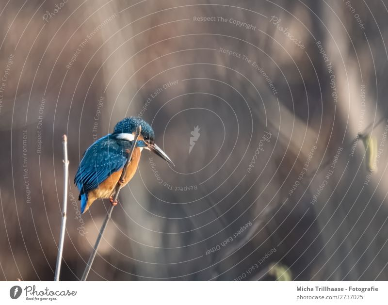 Kingfisher on a branch Environment Nature Animal Sunlight Beautiful weather Twigs and branches River bank Wild animal Bird Animal face Wing Claw Beak Feather