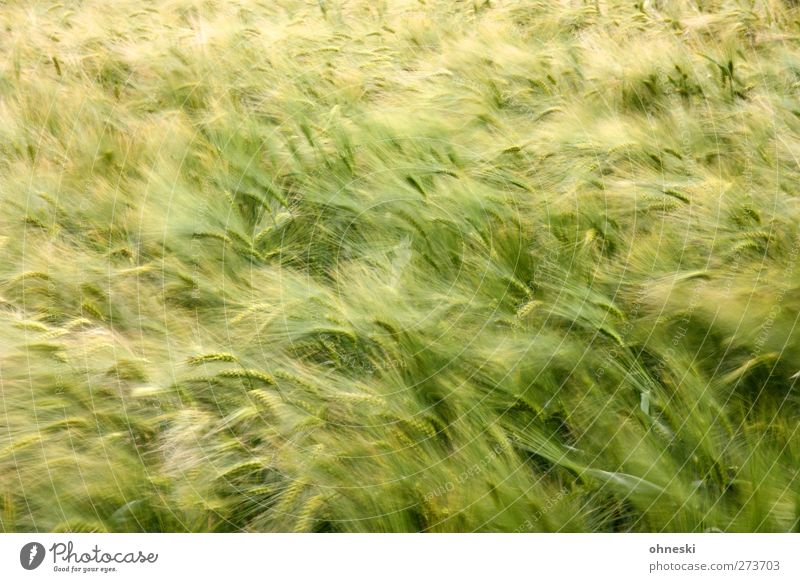 early beer Grain Agricultural crop Crops Barley Barleyfield Field Green Colour photo Exterior shot Deserted Copy Space top Blur Motion blur