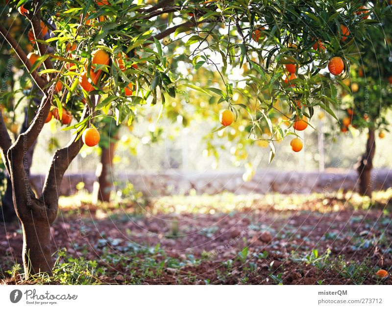 Art Orange Idyll Orange Esthetic Fantastic Spain Majorca Mature Fruit trees Plantation Vacation mood Tree Fruit Culture Close-up
