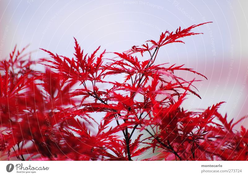 Red maple Environment Nature Plant Sky Summer Beautiful weather Tree Bushes Leaf Foliage plant Wild plant Maple tree Park Thin Authentic Point Thorny Dry Warmth