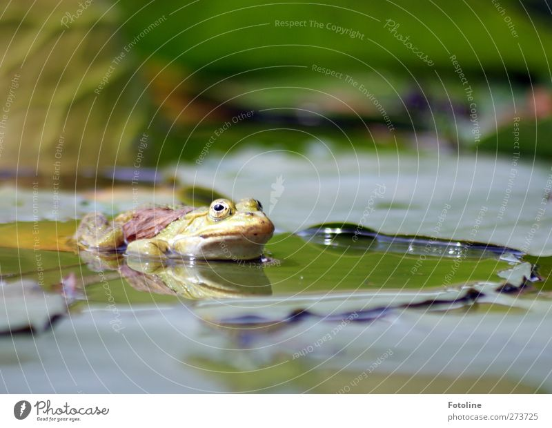 frog swell Environment Nature Plant Animal Elements Water Spring Leaf Pond Wild animal Frog Animal face 1 Wet Natural Warmth Green Water lily leaf Reflection
