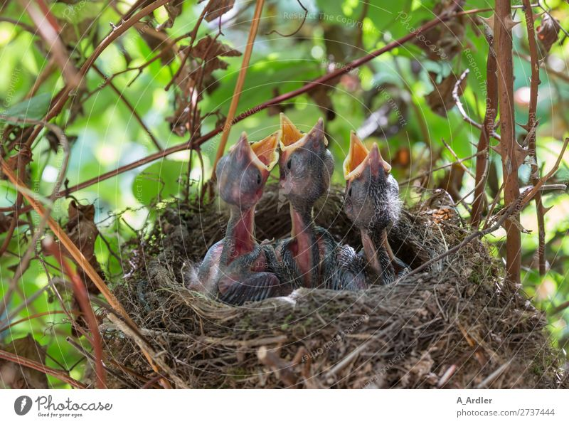 young hungry blackbirds in the nest Nature Animal Spring Summer Beautiful weather Garden Park Meadow Field Forest Wild animal Bird 3 Group of animals