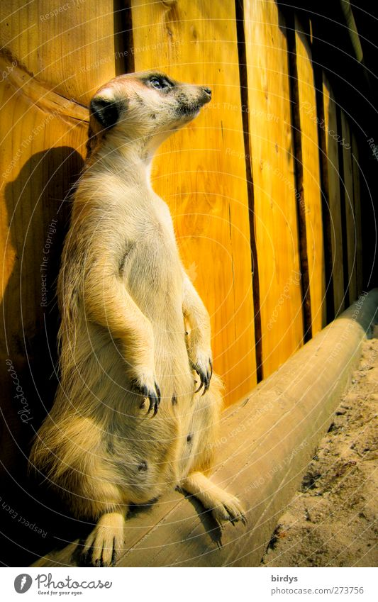 Animal Yellow Funny Brown Stand Perspective Cute Observe Curiosity Watchfulness Paw Responsibility Claw Surveillance Barn Enclosure