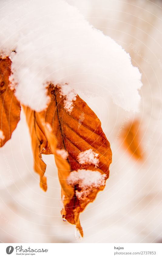 Beech leaf in the snow Winter Nature Snow Snowfall Tree Leaf White Alpina snowcap BU snowy saccharified winches Forest Season Brown Colour photo Exterior shot