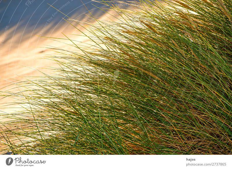 Beach grass at the Baltic Sea Summer Plant Sand Grass Blue Green marram grass strand Poland Fl plants Dune Sandy beach Colour photo Exterior shot Deserted