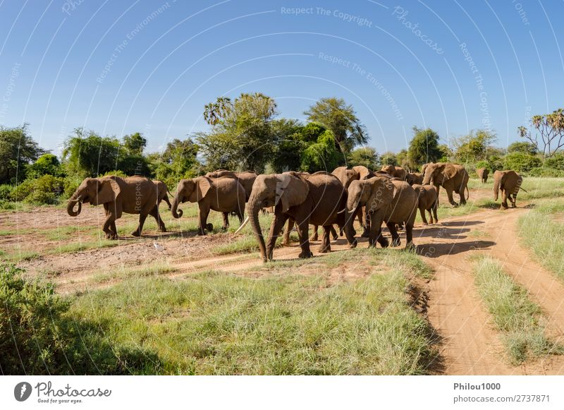 Herd elephants in the savannah of Samburu Park Playing Vacation & Travel Tourism Safari Baby Family & Relations Nature Landscape Animal Wild addo Africa african