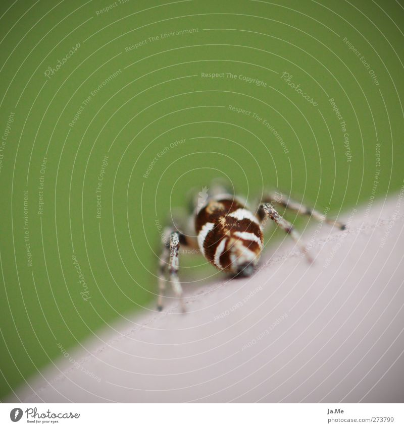 Green Animal Brown Wild animal Exotic Spider Zebra spider