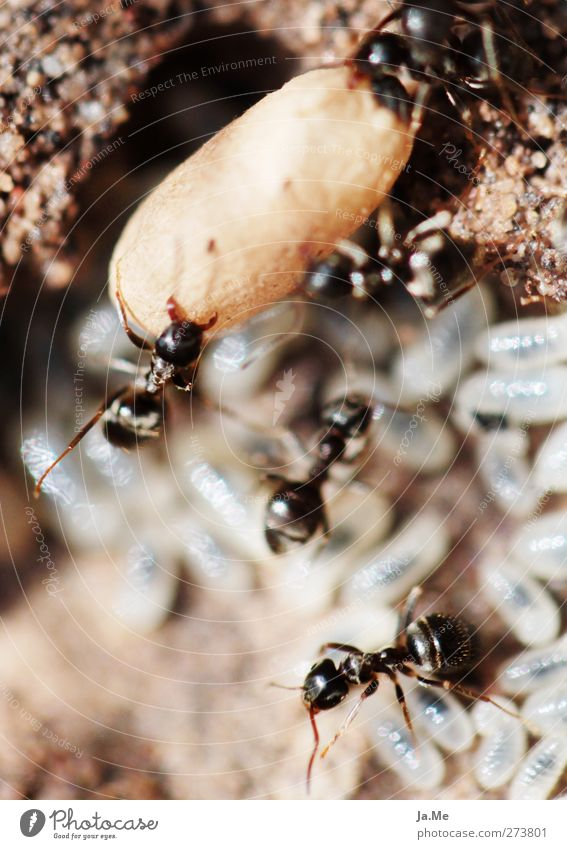 Hardworking workers Animal Wild animal Ant Ant-hill Larva Group of animals Work and employment Brown Black Colour photo Multicoloured Exterior shot Close-up
