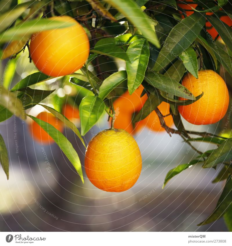 Orange Garden X Food Fruit Nutrition Organic produce Vegetarian diet Environment Nature Esthetic Orange tree Growth Hang Mature Vitamin C Healthy Colour photo