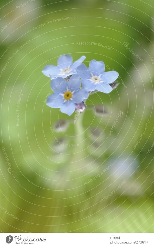 Nature Blue Green Beautiful Plant Summer Flower Calm Spring Small Blossom Elegant Authentic Illuminate Simple Blossoming