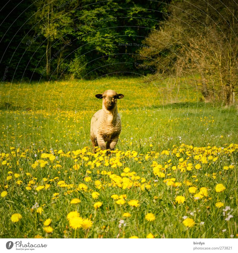 soloist Nature Spring Summer Beautiful weather Dandelion Forest Farm animal Sheep 1 Animal Observe Looking Stand Free Fresh Positive Yellow Green Watchfulness