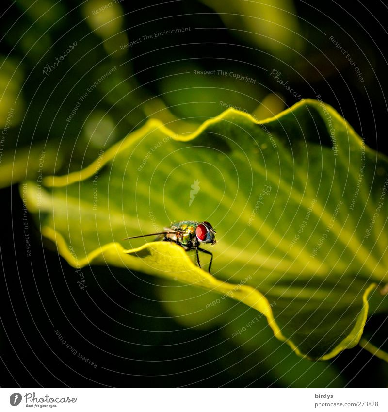only flies are more beautiful Leaf Fly 1 Animal Observe Looking Esthetic Yellow Green Nature Rachis Leaf shade Undulating Insect Colour photo Exterior shot